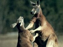Australia Kangaroos @ PRO Chess League